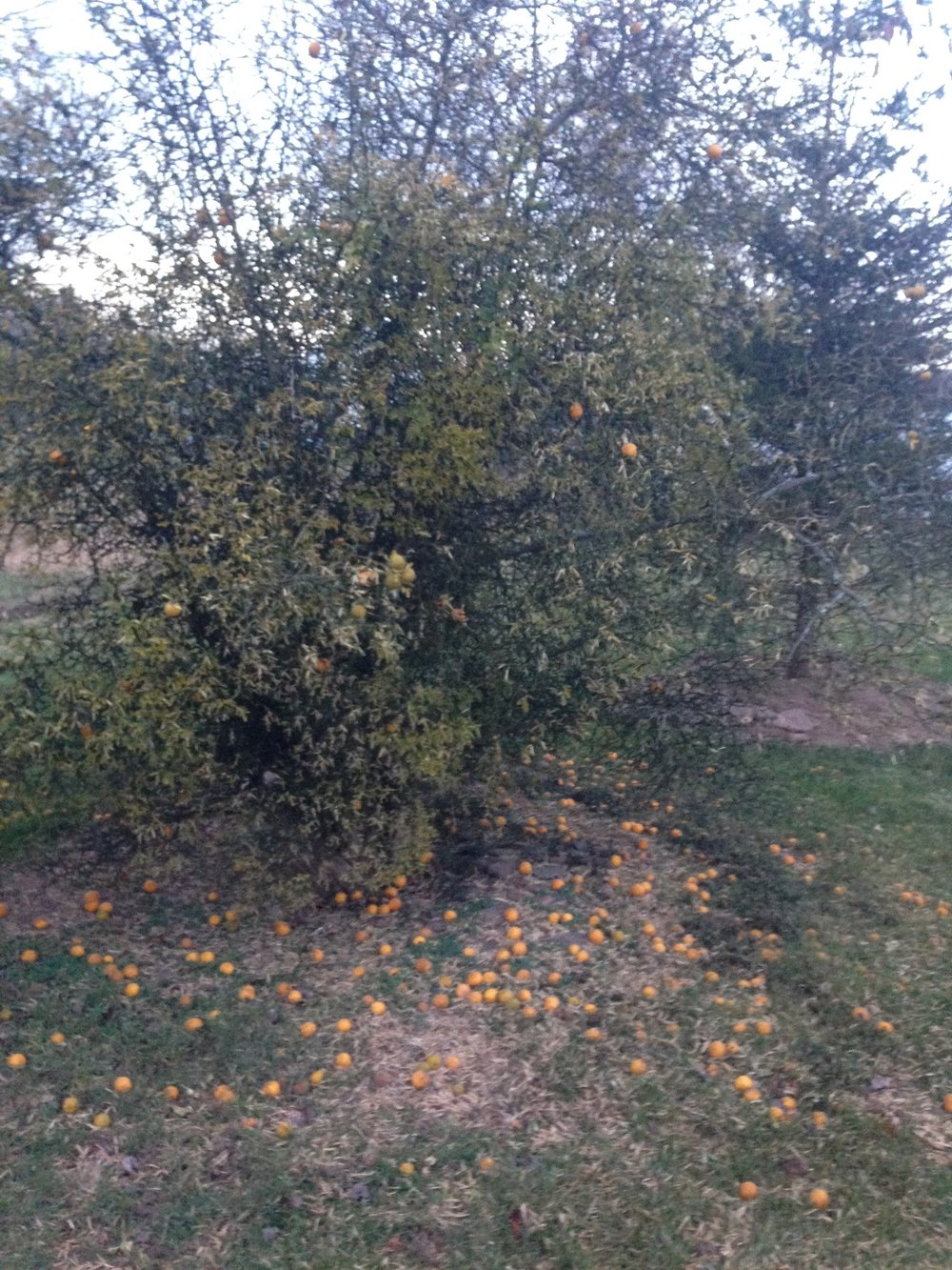 End-of-season Trifoliate oranges in Hopewell, NJ (November)