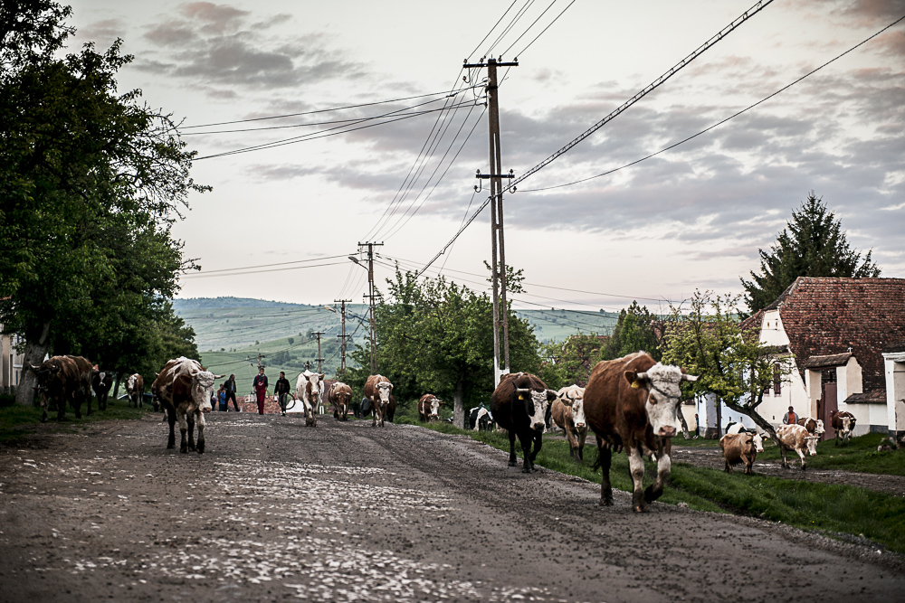 Cows walking back from fields at the end of the day in Viscri.JPG