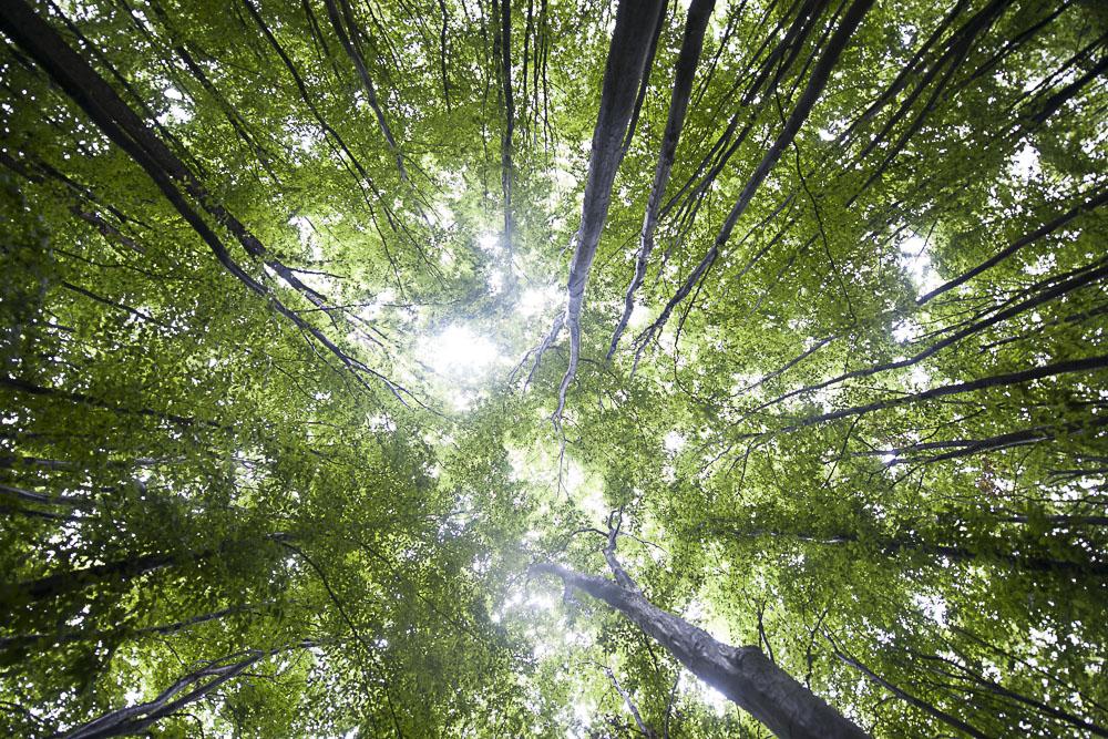 Transylvania Forest