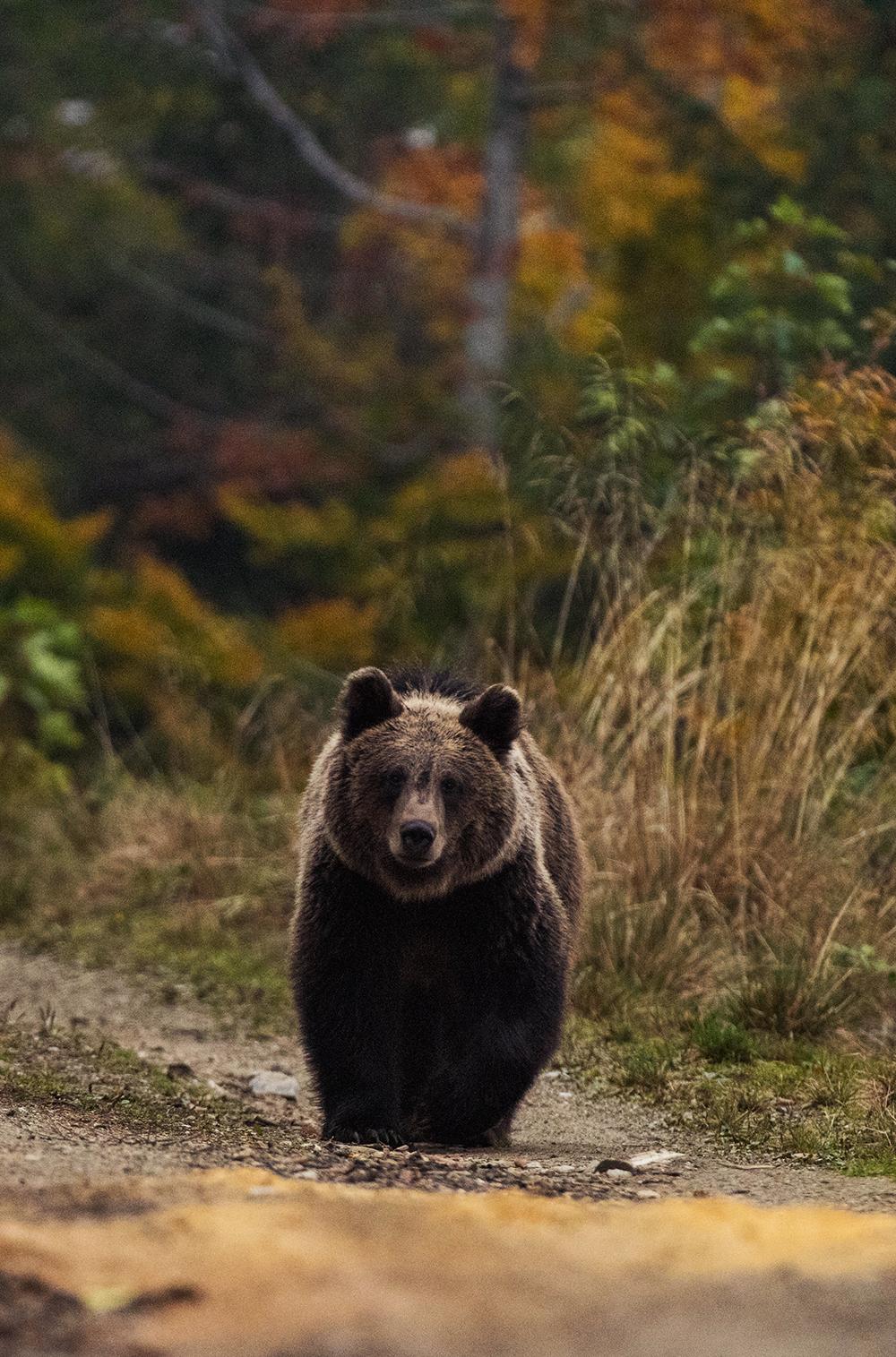 Bear Transylvania