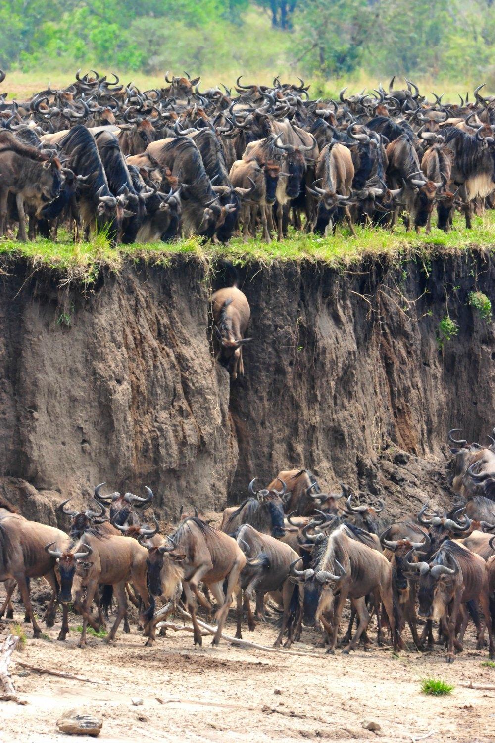 Wildebeest Small.jpg