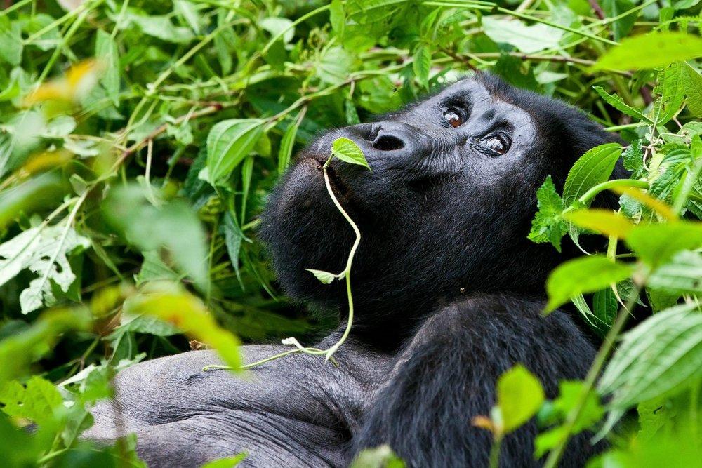 Gorilla - web.jpg