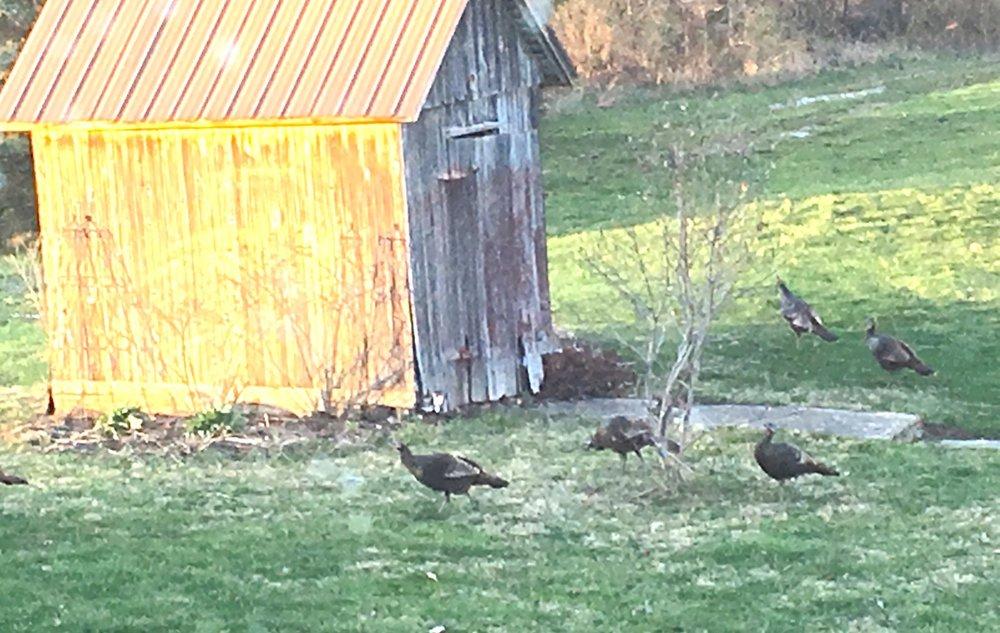 Turkeys on Dave's farm