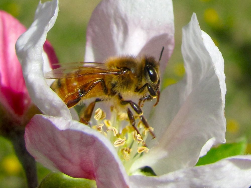 Honey-bee-apple-pollen.jpg