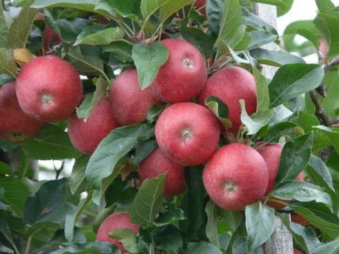 apple_ripe_red_221268.jpg