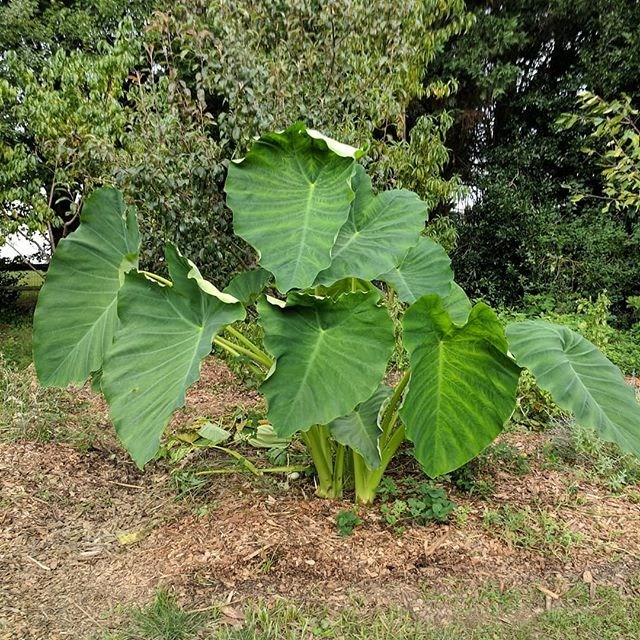No wonder they call it elephant ear! This thing knows how to grow!