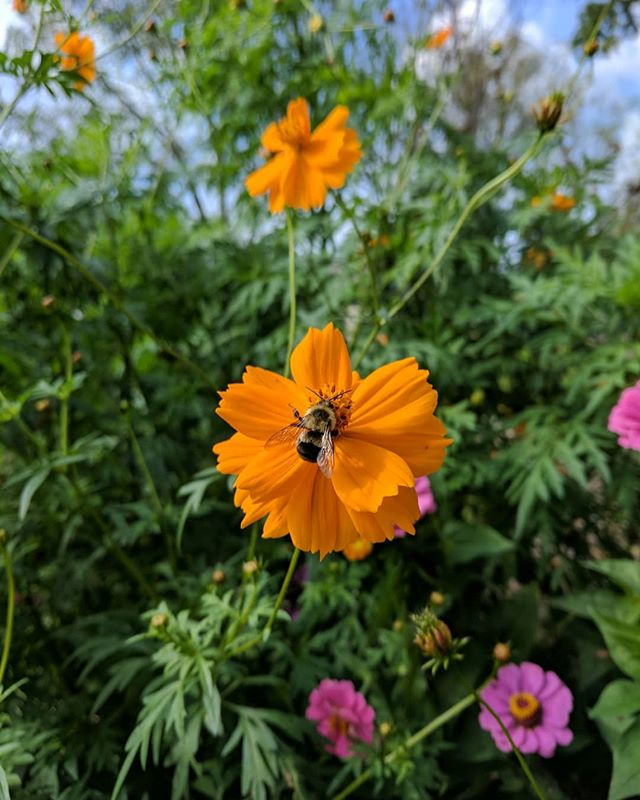 Fall flowers are abundant! New video coming out soon! The video will show how flowers in the garden support our beneficial bees, butterflies, and hummingbirds.