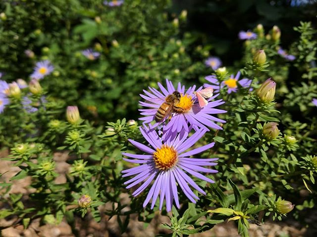 Aster flowers are late blooming, pollinator loving, violet colored, a great  adition of beauty and function to our fall garden!