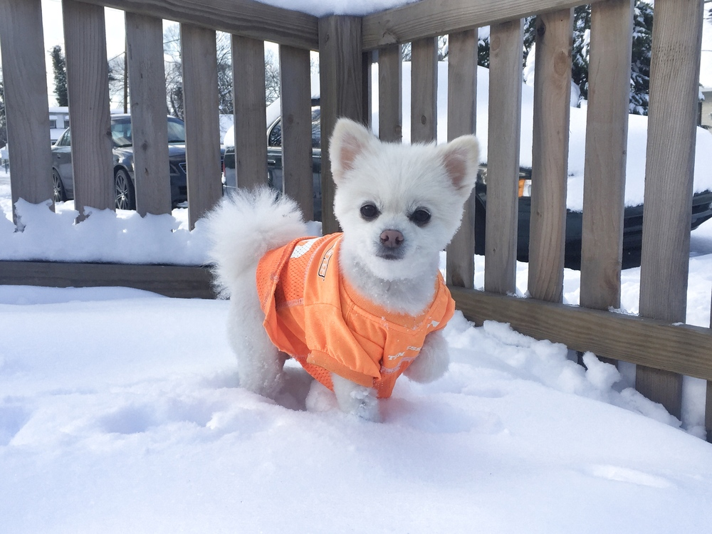Molly_Pomeranian_Haney