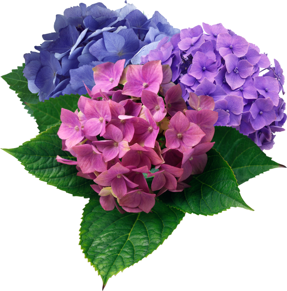 flowers-hortensia-3colors.jpg