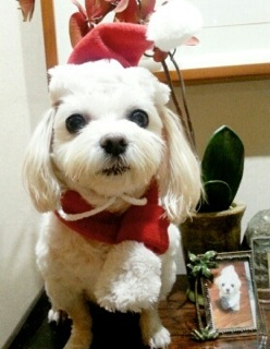 Ggomi from Korea is all dressed up for Christmas.