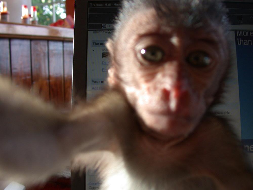 Monkey grabbing camera - Sheshunoff - abeginnersguidetoparadise.com.JPG