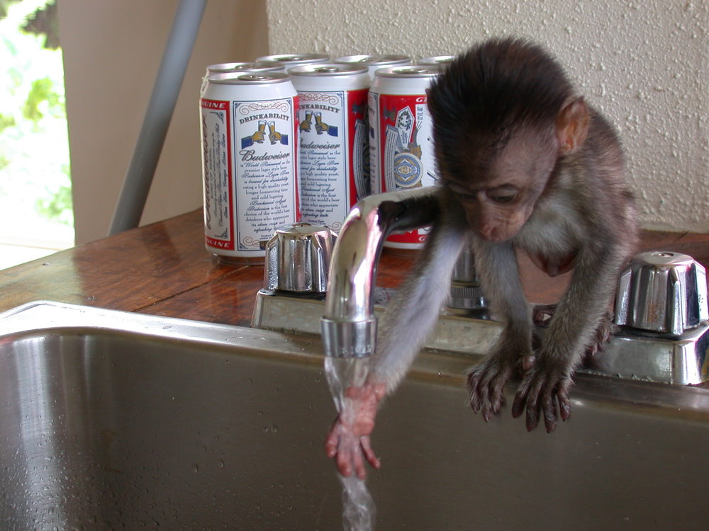 Monkey in sink - Sheshunoff - abeginnersguidetoparadise.com.JPG