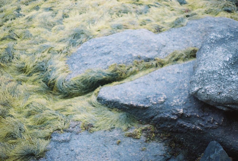 deer-isle-rockweed.jpg