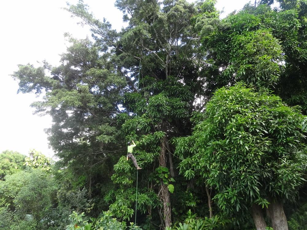 073._constr_bob_banyan climb.JPG