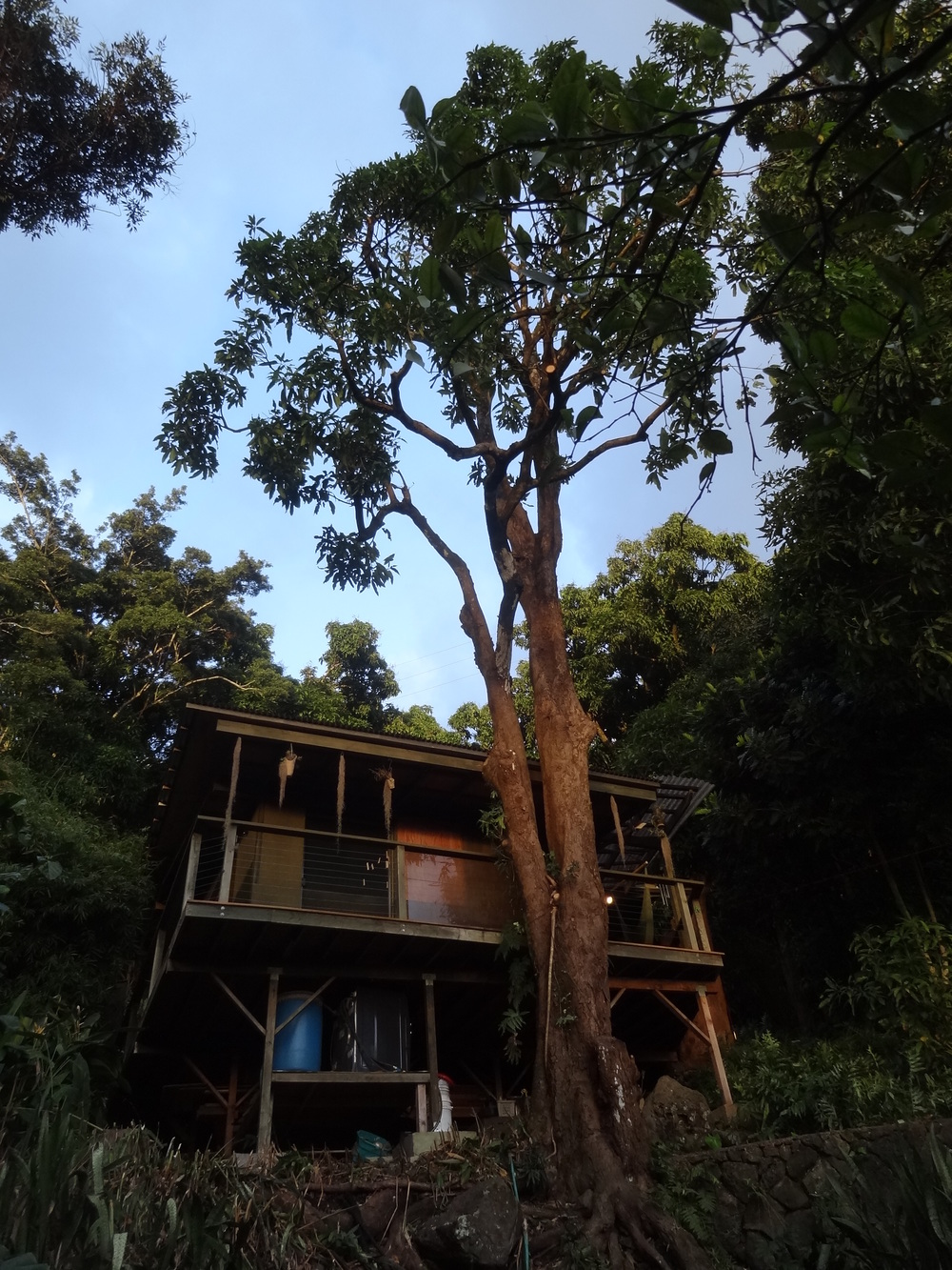 086_constr_treehouse mango tree trim.JPG