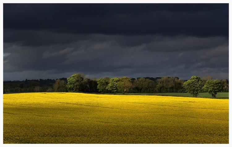 rapeseed+field.jpg
