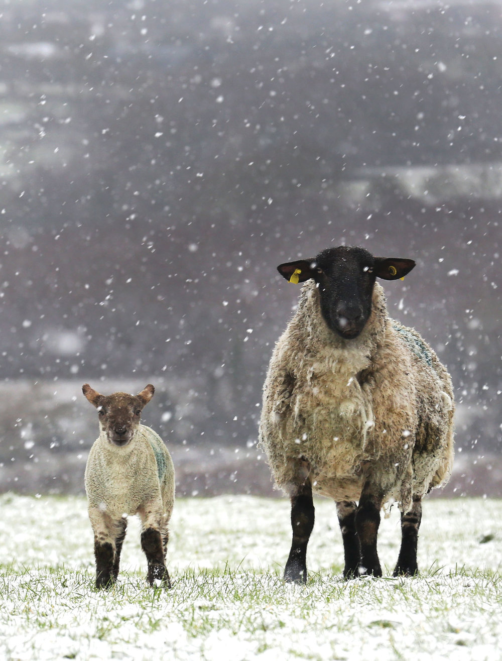 A Ewe and Lamb endure the snow in early spring