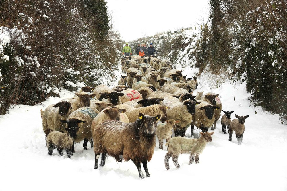 Moving Sheep indoors from Fields of snow