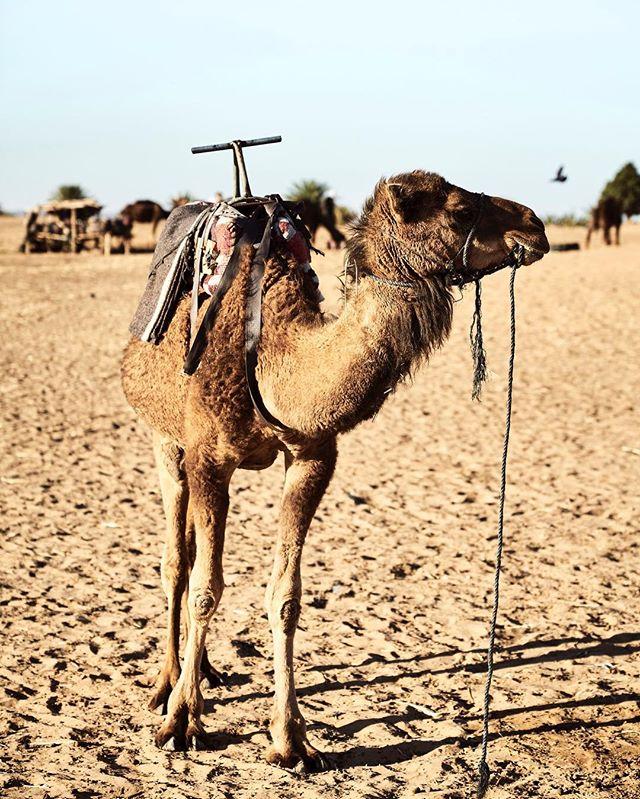 Wüstenschiff... ein Ritt auf einem Kamel und man weiß sofort warum es auch Wüstenschiff gennant wird! 🐪 Zugeben man vergisst den 12 Stunden Wahnsinn von Marakesch bis in die Sahara sofort wenn man den erst Schritt in die Wüste setzt und auf Tuchfühlung geht mit diesen einzigartigen Lebewesen!  #kamel #🐪 #Wüste #Sahara #desert #bluesky #exploretocreate #smile #