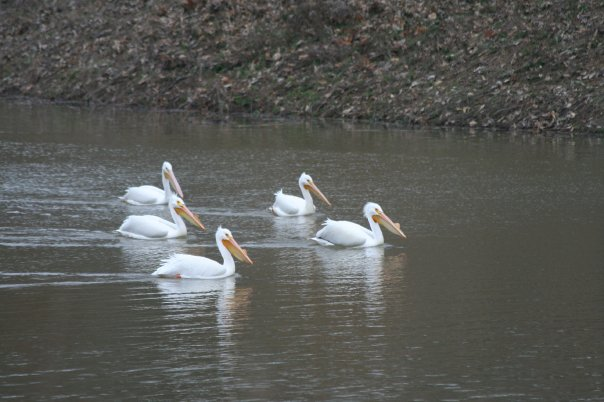 Pelicans can be seen on Lake Shelbyville during their annual fall migration