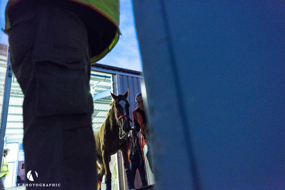 Loading a horse into a flight box