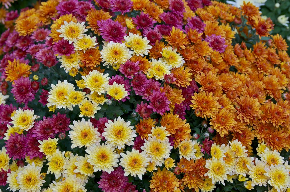 Chrysanthemum2.jpg