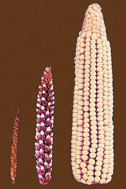 This is an example of selective breeding in corn. The far left photo is what corn looked like when it was first discovered and what we know as corn today on the far right.