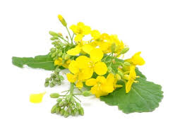 This is the plant that canola oil is made from. It is made from the seed called rapeseed.