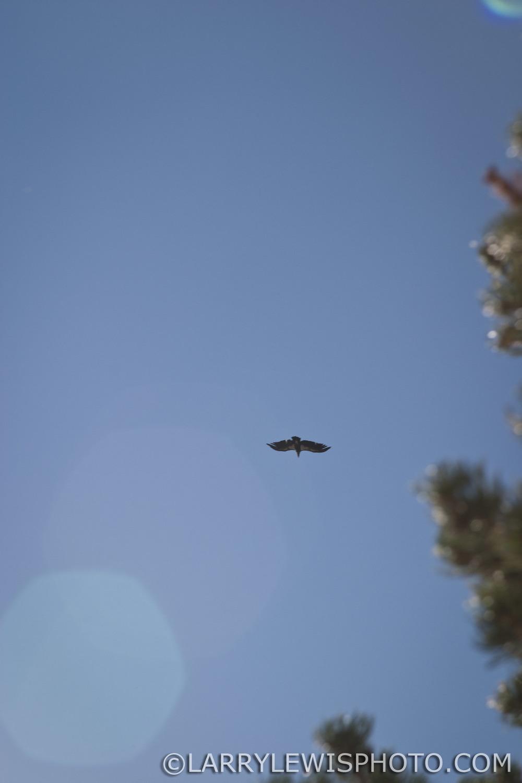 California Condor soaring overhead.