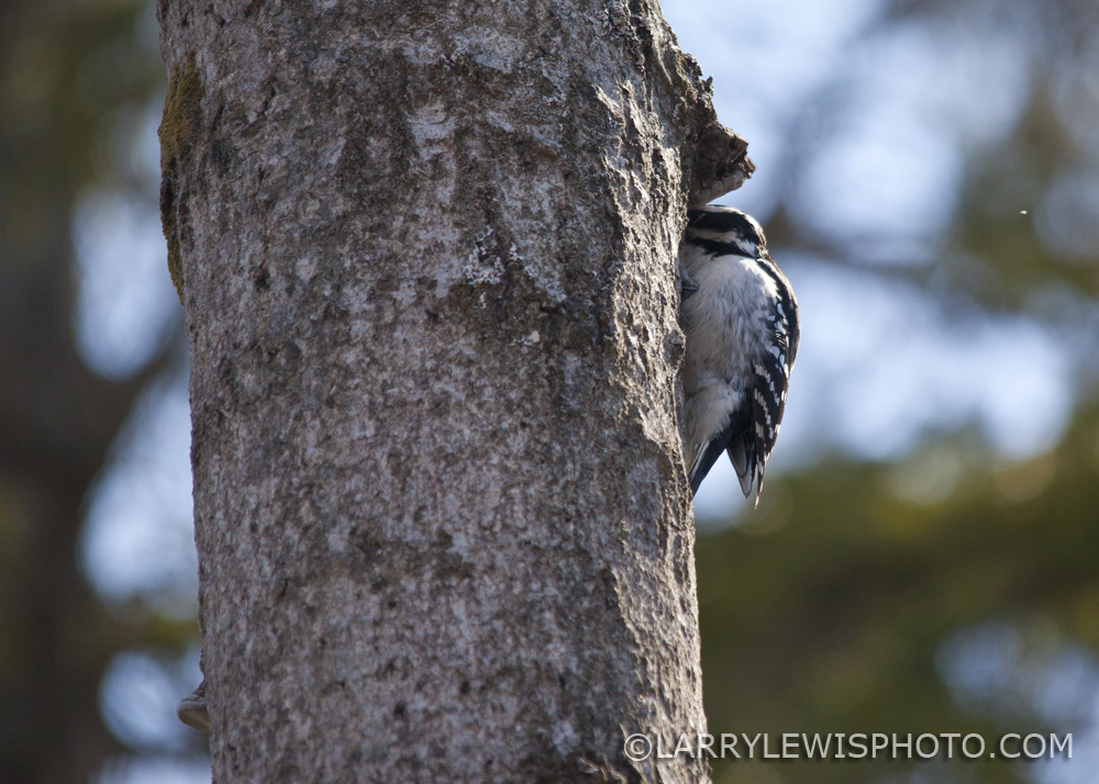 Downy_Woodpecker01.jpg