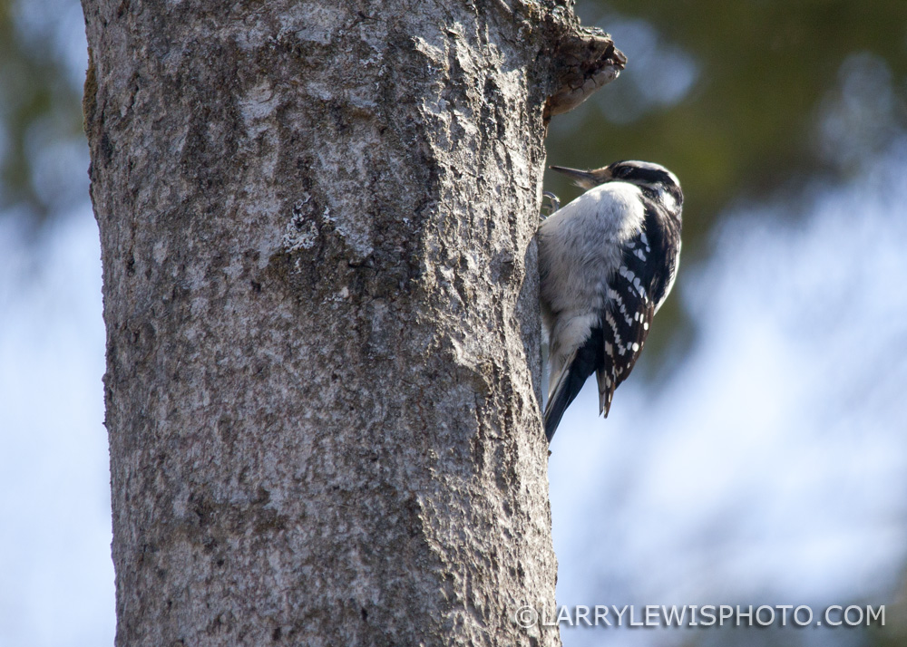 Downy_Woodpecker04.jpg