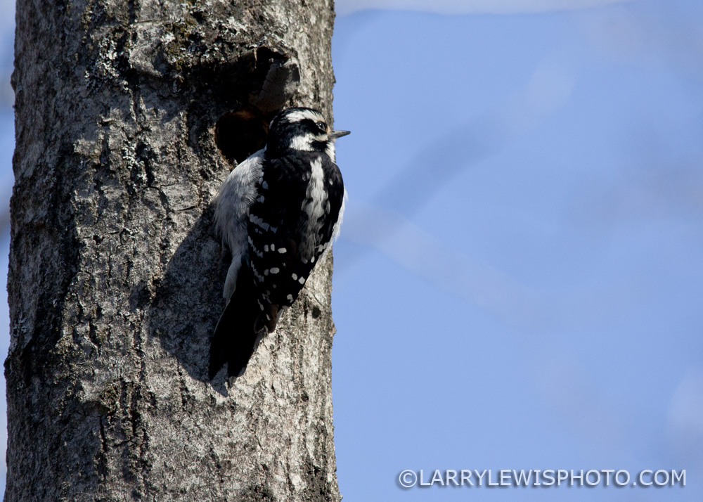 Downy_Woodpecker08.jpg