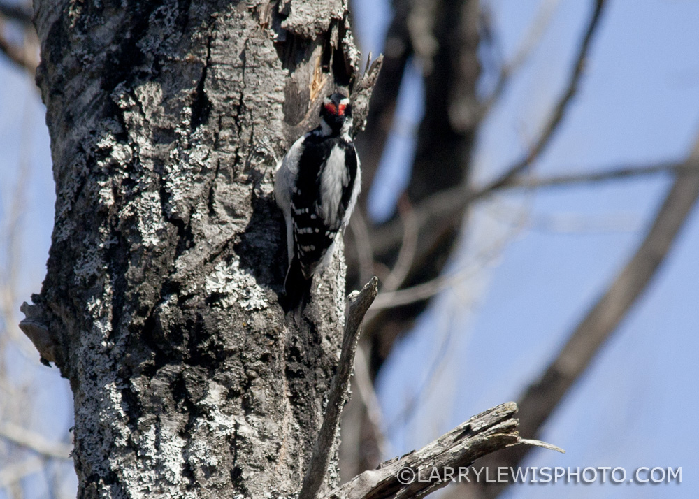 Downy_Woodpecker11.jpg