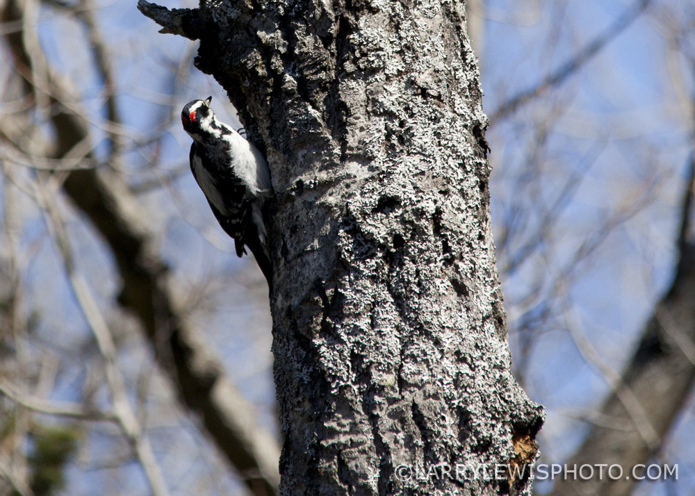 Downy_Woodpecker12.jpg