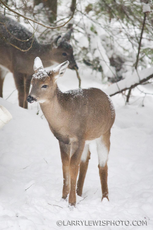 deerfawns-201412.jpg