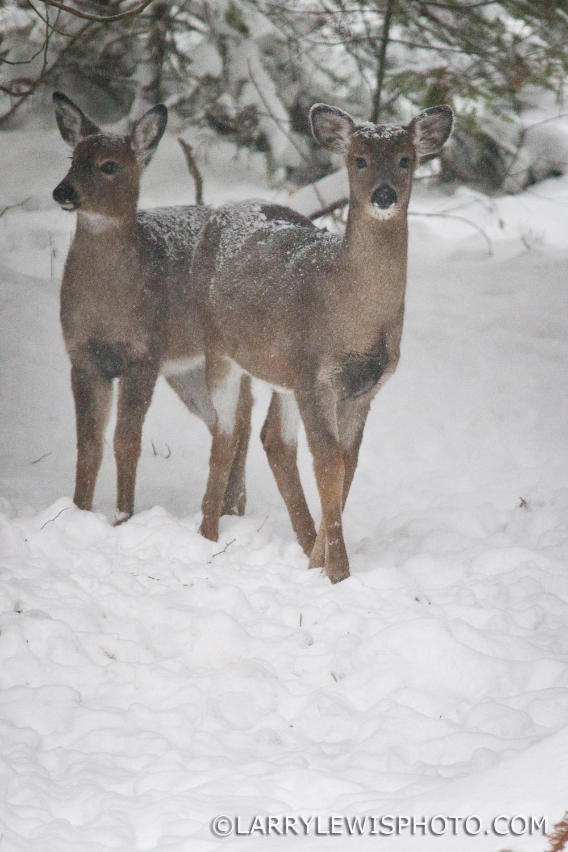 deerfawns-201415.jpg