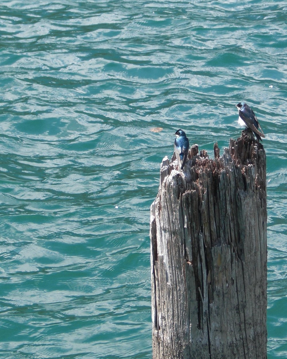 """Birds on Water"" -  ( CC BY-NC-SA 2.0 )  by Jason DeBoer-Moran"
