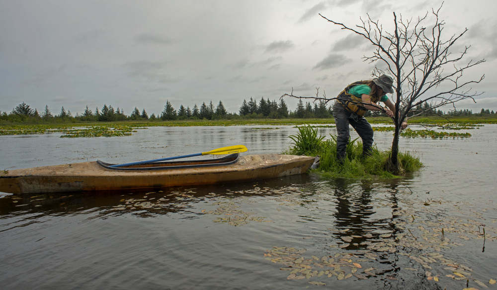James Benson removes shrubbery to clear space for sweet gale to improve a nest island floating on a pond in the Copper River Delta. The crew will camp in a remote area on the Delta for a week at a time throughout the summer to maintain the nest islands after dusky nesting season concludes.