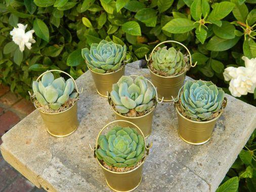 Baby Succulent Party Favors