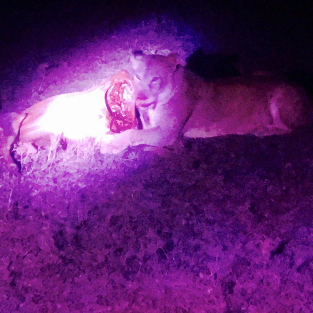 En sulten løve.