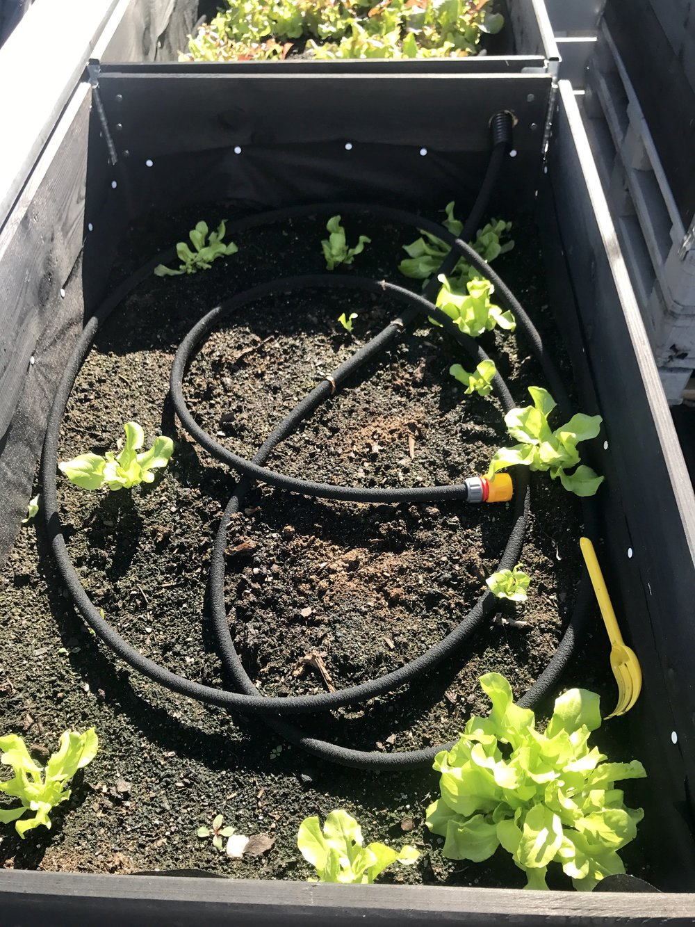 Små grønne vekster begynte å gjøre seg gjeldende, en måned etter at jeg hadde sådd frøene. En svetteslange ga vekstene nok vann.