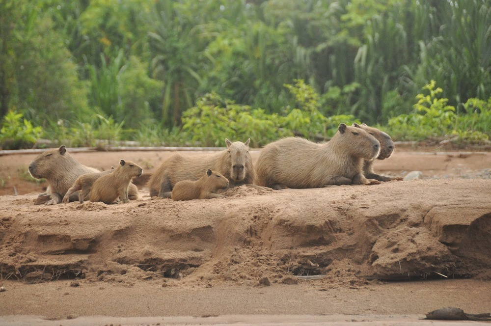 On our way to the remote lake, we saw several families of capybaras - the largest rodent in the world! Looks kind of like a giant guinea pig, doesn't it?