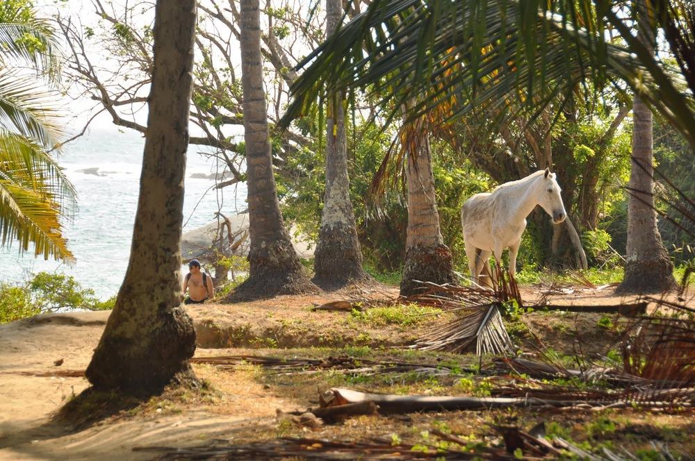 Wild horse Tayrona National Park Colombia