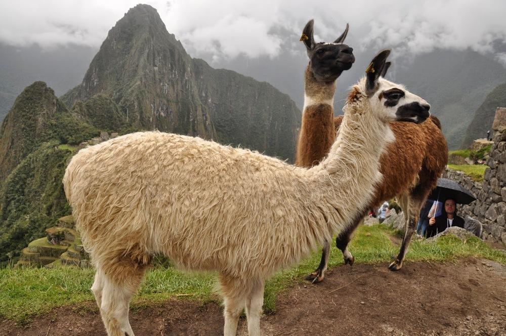 Llamas Machu Picchu Inca Trail Cusco Peru