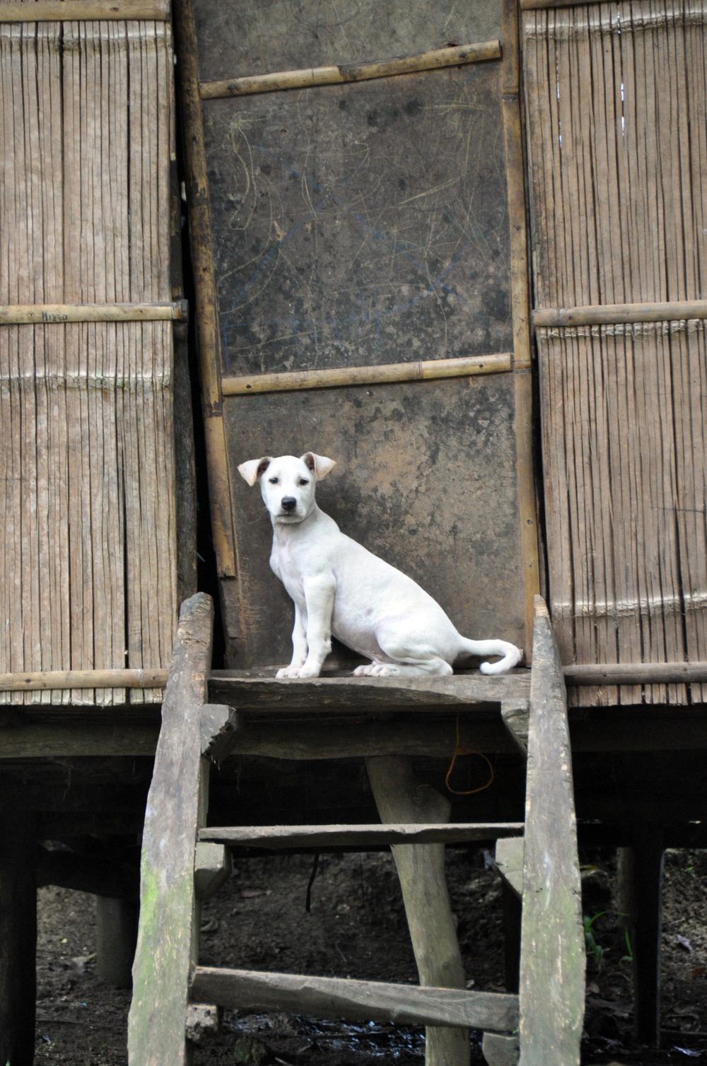 Philippines dog