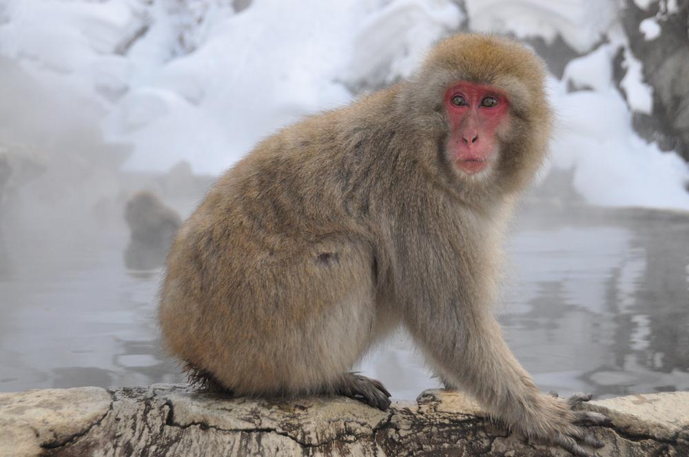 Jigokudani Yaen-koen Snow Monkey Park Nagano Japan