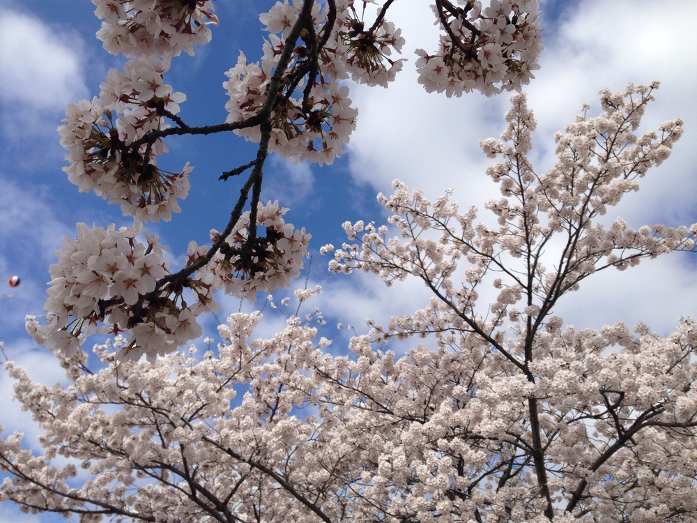 Cherry Blossom Festival Korea Bucket List