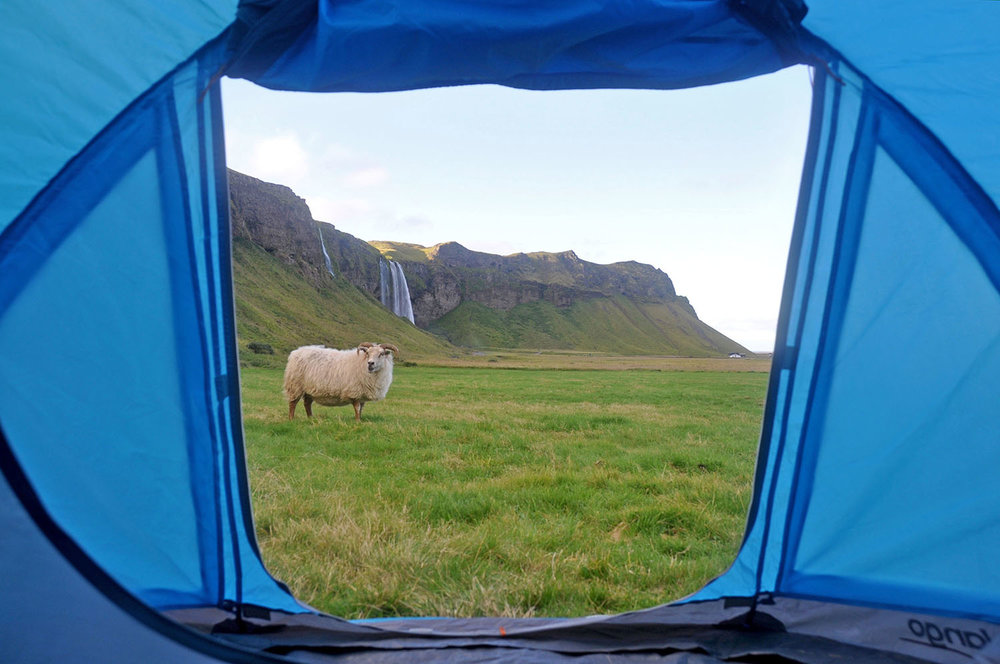 Camping in Iceland Sheep