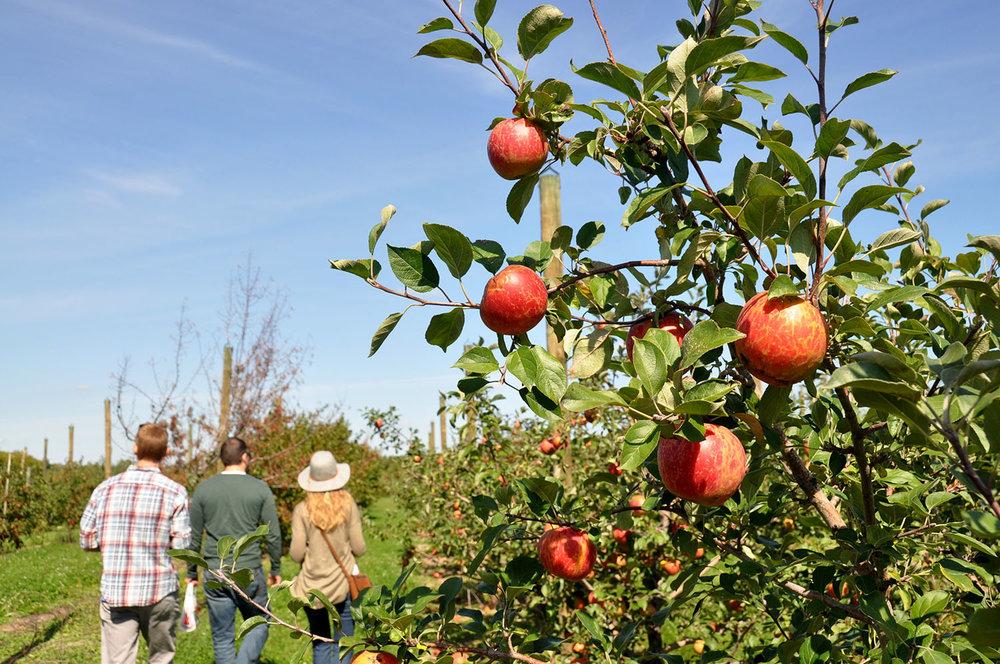 Apple Orchard Minnesota